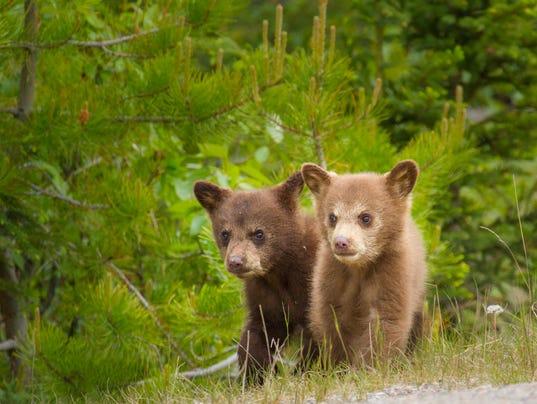Bear cubs together