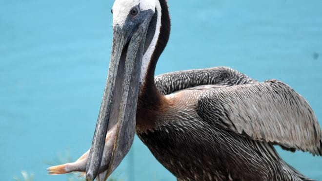 A mature brown pelican eats a fish at Skywatch Bird Rescue in Castle Hayne on Friday. The pelican was one of several that was brought to the center in the days following Hurricane Isaias. All of the pelicans will be released back into the wild soon.