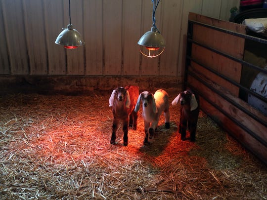 Young kids gather under a heat lamp at the Hoofprint Cheese Company in Millbrook, March 25, 2017.