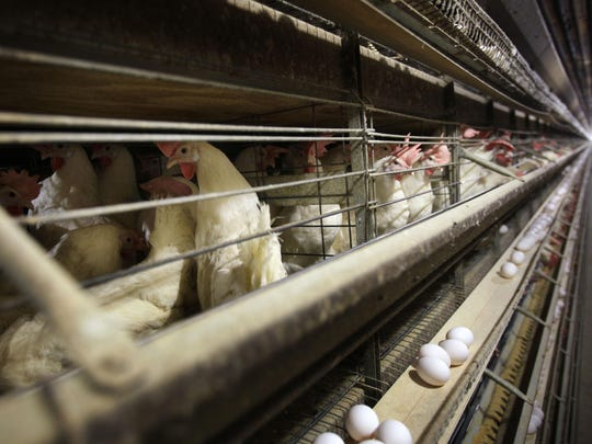 In this 2009 file photo, chickens stand in their cages at a farm near Stuart, Iowa. South Dakota has its first case of bird flu at an egg-laying chicken farm that holds 1.3 million of the birds. Dakota Layers says it was told by the state veterinarian in 2015, that one of its nine barns tested positive for avian influenza.