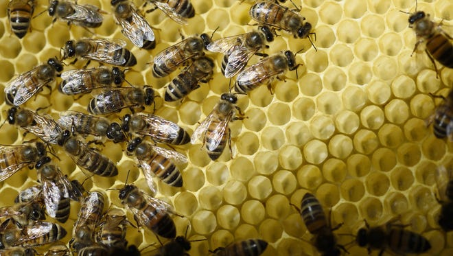 Bees stand on honeycombs of a frame in a hive. Pollinators contribute more than $20 billion each year to our agricultural economy.
