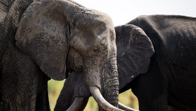 African elephants are pictured on November 18, 2012 in Hwange National Park in Zimbabwe.