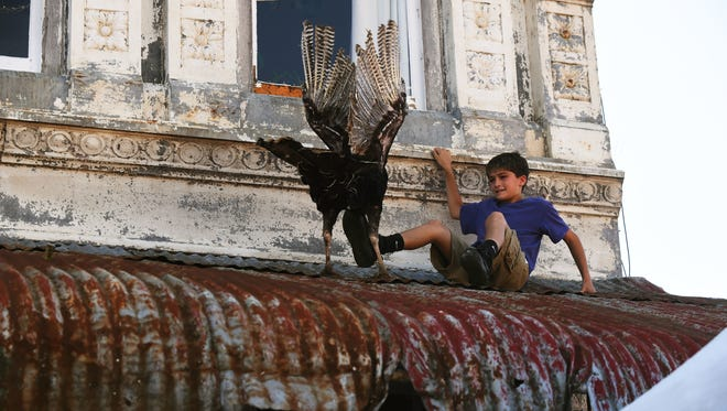 """A young boy attempts to shove a turkey off a downtown tin roof on the Yellville square during the opening day of the 72nd Annual Turkey Trot Festival on Friday in Yellville, Ark. During the first few hours of the festival, a few turkeys were released from downtown buildings with no sightings of the controversial figure known as the """"phantom pilot,"""" who in years past dropped turkeys from a plane."""