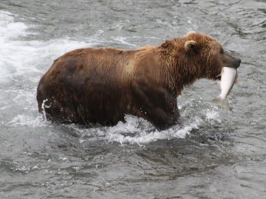 A brown bear walks to a sandbar to eat a salmon it