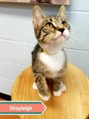 Shayleigh, a 3 month old Tabby, is looking for family.