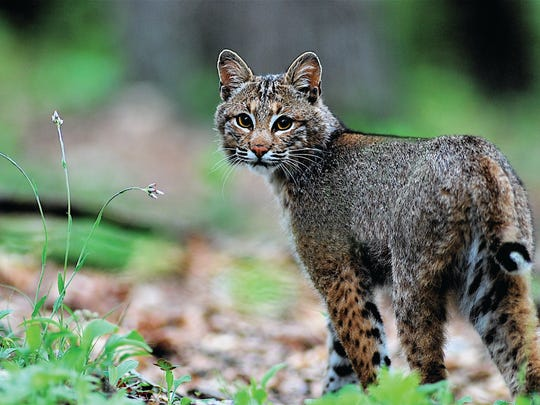 Bobcat, Webster County