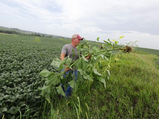 Justin Dammann discards a massive weed after uprooting it along the side of one of his soybean fields in Page County. Dammann believes in pulling or spraying the weeds on his farm.