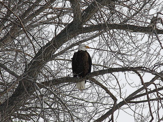 Avian predators like the bald eagle are likely to target pheasants feeding in the open.