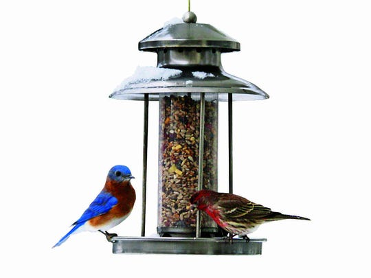 An eastern bluebird and house finch at a feeder in winter.
