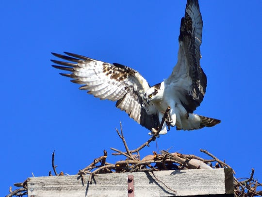 Osprey builds its nest on a platform in Martin County.