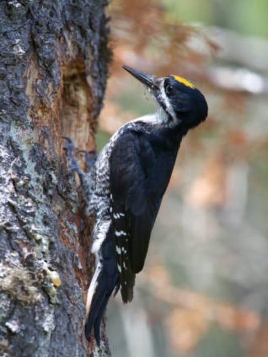 Blackbacked_Woodpecker.jpg