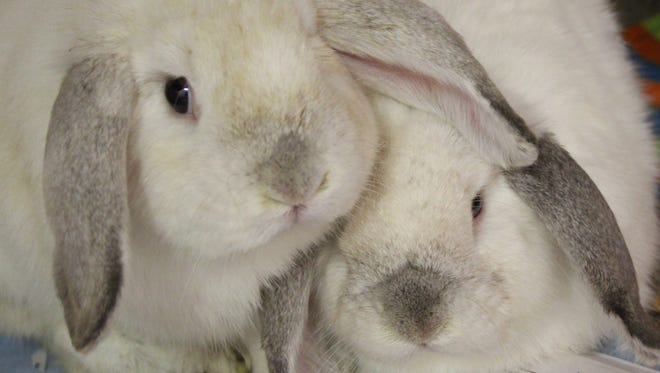 Bunnicula and Babbitty Rabbitty would love to live out their bunny days together in your forever home. They may be seen at the Oshkosh Area Humane Society.
