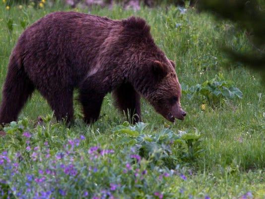 -Yellowstone Grizzly 2.jpg_20110706.jpg