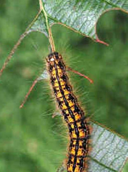 tent caterpillar.jpg