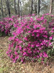Azaleas in northwest Leon County.