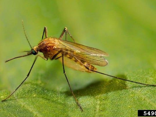 Culex pipiens mosquito