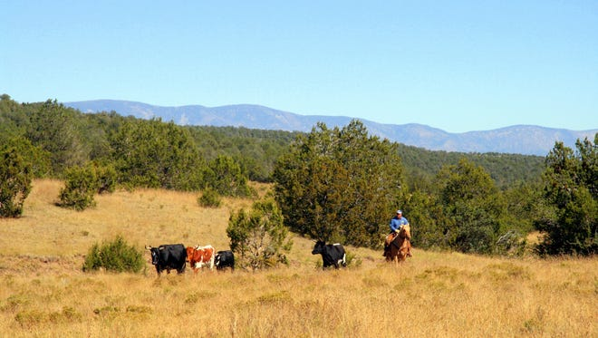 Ranchers watch for potentially poisonous plants while rounding up cattle from grazing land.