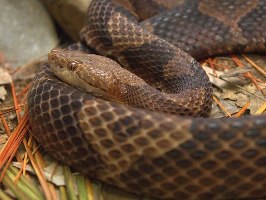 Indiana Man Bitten By Copperhead Snake In Brown County
