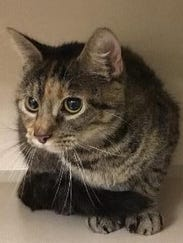 Bradley is an adult female domestic shorthair with