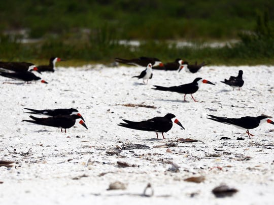 Black Skimmers nest in the sand at Tigertail Beach Park in Marco Island on Monday, June 13, 2016.