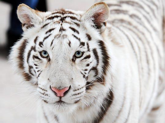 Shekinah, a royal white Bengal tiger, lives at Owenhouse's sanctuary, along with Sheena, an orange Bengal tiger.