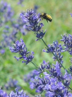 Bee on lavender on Washington Island. NETWORK-Wisconsin