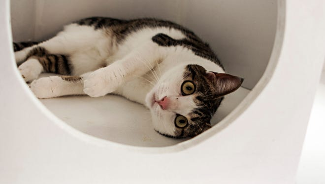 """A resident feline relaxes at Meow Parlour, New York City's first """"cat cafe."""""""
