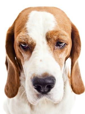 A sad beagle