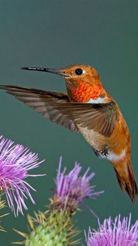 Hummingbirds are the main attraction at the High Country