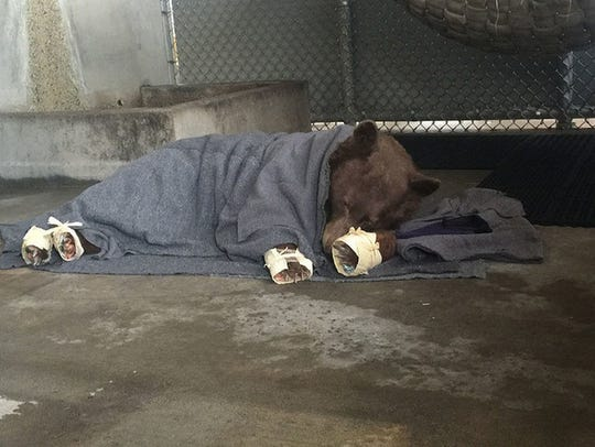 The first rescued bear naps in its holding pen after