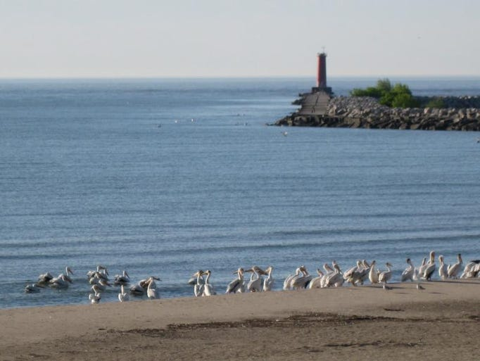 Two or three dozen pelicans made a rare visit to North Beach Monday morning.
