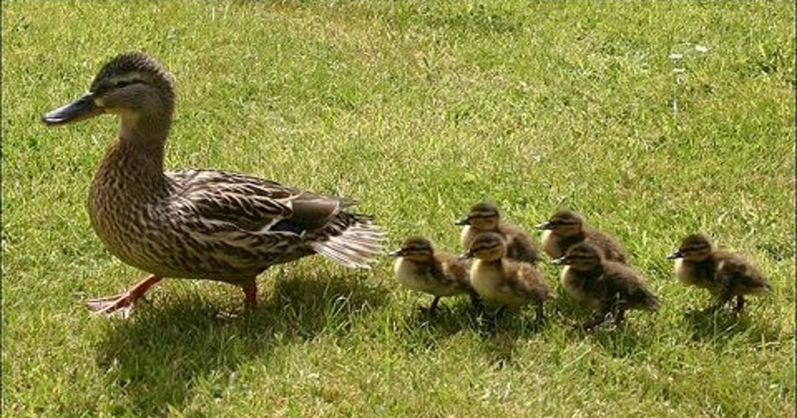 WATCH: Baby ducks fly ...