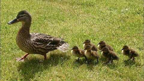 Baby ducklings with their mom.