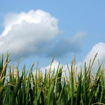 Corn stands tall in a field along Egypt Pike in western Ross County on Tuesday.