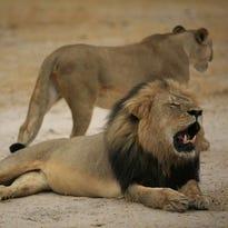 U.S. hunter accused of killing beloved Zimbabwean lion Cecil