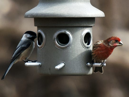 A chickadee, left, and house finch viewed at the Teaneck