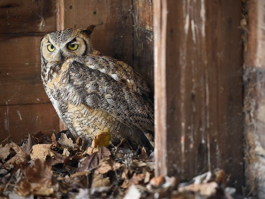 A great horned owl suffering from starvation was just delivered to Linda Peck Thursday, May 26, for rehabilitation at her farm in Rockville.