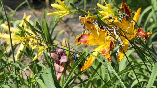 A  daylily at Teardrop Farm Daylily Patch in Sterling.