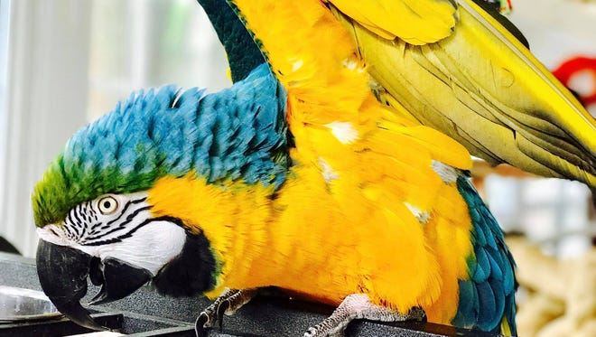 Hopi, a blue-and-gold macaw survived the January incident. Her mate Charlie did not.