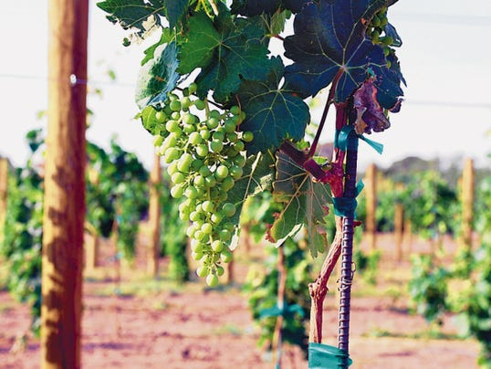 Quality wine grapes are growing in abundance in all parts of New Mexico.