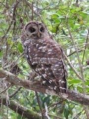 A barred owl roosts in Picayune Strand State Forest.