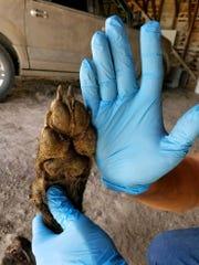 Canid creature shot near Denton