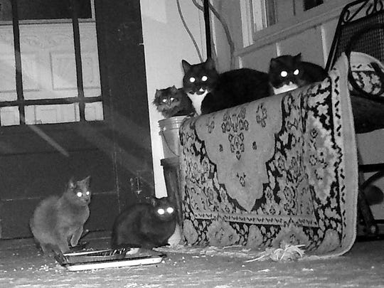 Barn cats gathering at the backdoor of the Manzke farmhouse were happy to have their images captured on Bob's new toy - a trail cam.