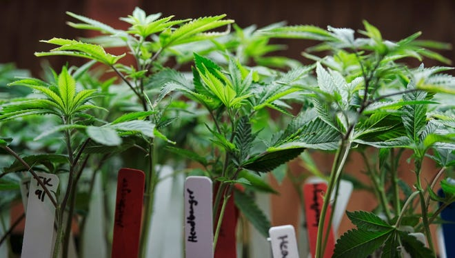 This April 15, 2017 file photo shows marijuana plants on display at a medical marijuana provider in downtown Los Angeles.