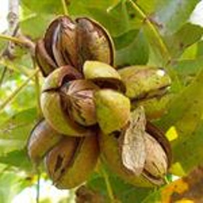 November through February is the best time to plant pecan trees. But before you decide to add a pecan tree to your landscape, there are some things to consider.