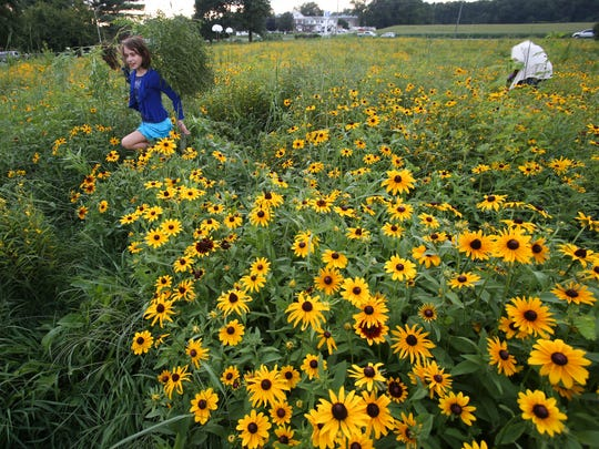 Black-eyed Susans cover the formerly under-utilized grassy field being converted to the Shue-Medill Middle School Learning Meadow as school and community members pitch in on the project Thursday.