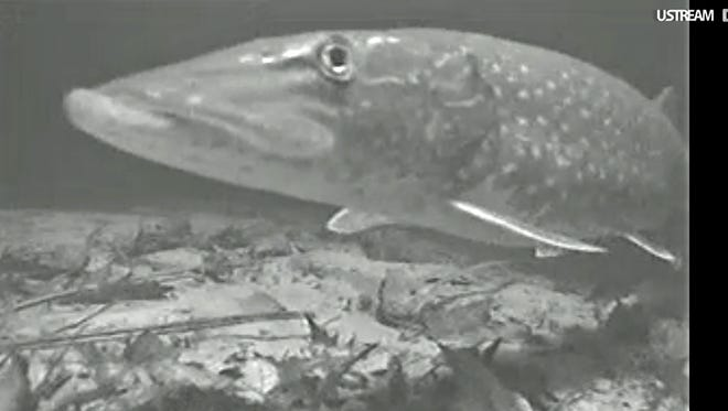 UnderwaterCamera,NorthernPike: A northern pike swims past a Wolf River Cam at Shiocton on Thursday night.