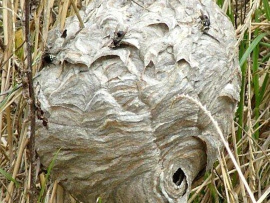 08-25-2014 Baldfaced hornet nest
