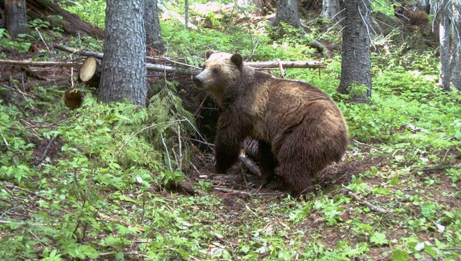 This June 20, 2014 file photo taken by an automatic trail camera provided by the U.S. Fish and Wildlife Service shows an adult female grizzly bear in the Cabinet Mountains, part of the Rocky Mountains, located in northwestern Montana. A government wildlife worker is recovering from a surprise bear attack in the remote Montana mountain range. U.S. Fish and Wildlife Service field assistant Amber Kornak was attacked from behind while she was working near a stream in the Cabinet Mountains on May 17, 2018.