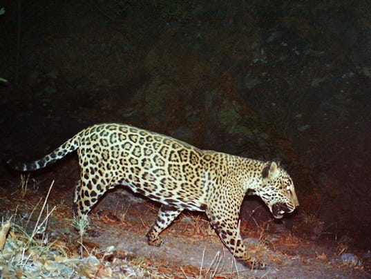 Arizona jaguar named 'El Jefe'